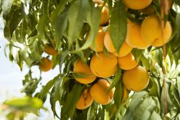 Peaches_031