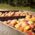 Peaches_400