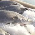 fish-new