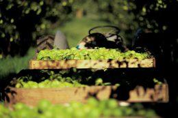 pear bins in orchard - Copy